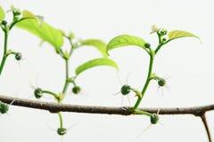 Moraceae Imagens de Stock
