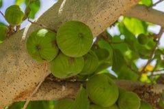 Moraceae aspera Ficus Στοκ Φωτογραφία