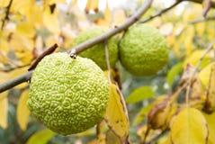 moraceae maclura изгороди aurantica яблока стоковые фото
