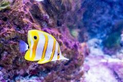 Morador tropical do recife de corais dos peixes Fotografia de Stock