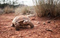 Morafkai del Gopherus de la tortuga de desierto de Sonoran en el parque de estado del barranco de la nieve, Utah, los E.E.U.U. Es foto de archivo libre de regalías