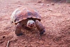 Morafkai del Gopherus de la tortuga de desierto de Sonoran en el parque de estado del barranco de la nieve, Utah, los E.E.U.U. Es imagenes de archivo