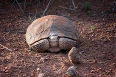 Morafkai del Gopherus de la tortuga de desierto de Sonoran ocultado Barranco Sta de la nieve fotografía de archivo