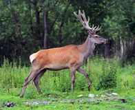 Moral. Red deer in the woods Royalty Free Stock Photo
