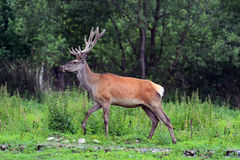 Moral. Red deer in the woods Stock Image