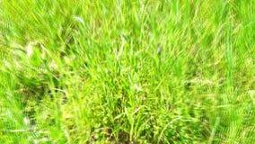 Morango com as folhas da hortelã vídeos de arquivo