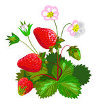 Morango com flores Foto de Stock Royalty Free
