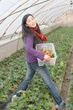 Morango da colheita Foto de Stock Royalty Free