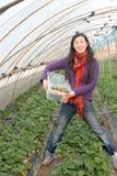Morango da colheita da menina Imagem de Stock