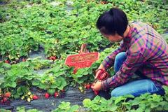 Morango da colheita no jardim imagens de stock royalty free