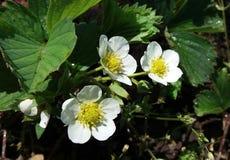 Morango da flor fotos de stock royalty free