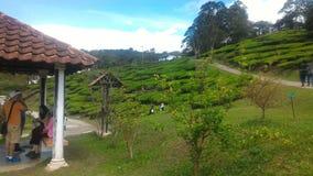 Morango da planta de chá no agro parque de tecnologia em MARDI Cameron Highlands Malaysia foto de stock royalty free