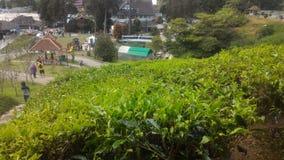 Morango da planta de chá no agro parque de tecnologia em MARDI Cameron Highlands Malaysia foto de stock