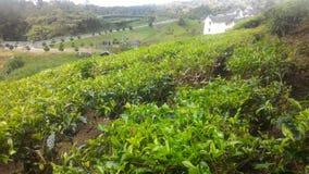 Morango da planta de chá no agro parque de tecnologia em MARDI Cameron Highlands Malaysia imagens de stock royalty free