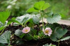 Morango de jardim de florescência Foto de Stock