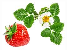 Morango e flor da morango isolada no branco Fotografia de Stock