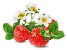 Morango e flor da morango isolada no branco Imagem de Stock