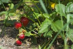 Morango em um arbusto no jardim, colheita, bagas maduras suculentas imagens de stock