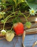Morango fresca. Fotografia de Stock Royalty Free