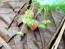 Morango fresca Foto de Stock Royalty Free