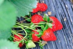 Frutos vermelhos da morango fotografia de stock