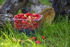 Morango fresca em uma cesta no cânhamo Fotos de Stock