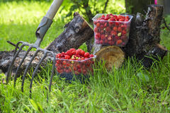 Morango fresca em uma cesta no cânhamo Imagem de Stock