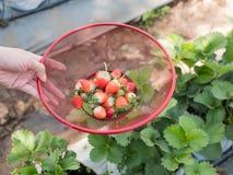 Morango fresca no jardim Imagem de Stock Royalty Free