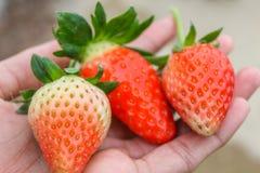 Morango fresca saboroso da exploração agrícola Fotografia de Stock
