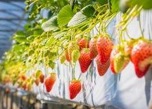 A morango frutifica no ramo na luz da manhã Fotografia de Stock Royalty Free