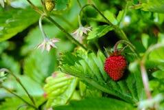 Morango madura no jardim do ` s da avó Imagem de Stock Royalty Free