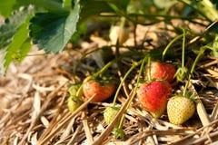 A morango na exploração agrícola Fotos de Stock Royalty Free