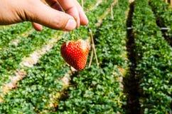Morango na exploração agrícola Foto de Stock