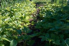 Morango na terra Foto de Stock