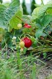 Morango no arbusto Imagem de Stock Royalty Free