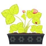 Morango no potenciômetro de flor Imagem de Stock