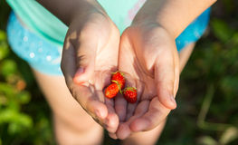 Morango selvagem saboroso nas mãos Foto de Stock Royalty Free