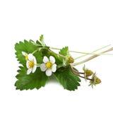Morango silvestre com flor Imagens de Stock