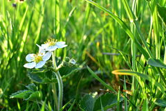 Morango silvestre da flor foto de stock royalty free