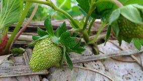 Morango verde Imagem de Stock