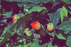 A morango verde amadurece no jardim Fotografia de Stock