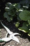 Morango verde que cresce no jardim urbano ou do telhado foto de stock