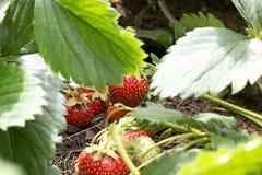 Morango vermelha fresca Foto de Stock