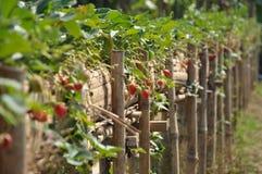 Morango, vermelho de cereja fotos de stock royalty free