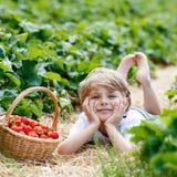 Morangos da colheita do menino da criança na exploração agrícola, fora Imagens de Stock Royalty Free