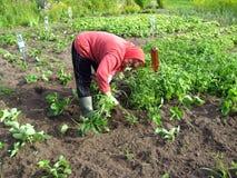 Morangos da remoção de ervas daninhas Foto de Stock Royalty Free
