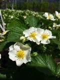 Morangos de florescência imagens de stock