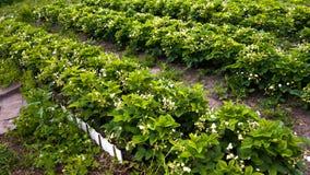 Morangos de florescência fileiras plantadas Fotos de Stock Royalty Free