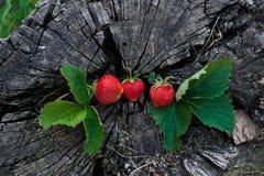 Morangos em um coto de madeira Foto de Stock Royalty Free