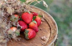 Morangos em um tambor de madeira do vinho no pomar no ver?o Frutos ou bagas vermelhas e grama seca fotografia de stock royalty free